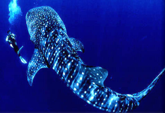 WHALE SHARK tour cancun price phone 998-848-2904 riviera maya ...