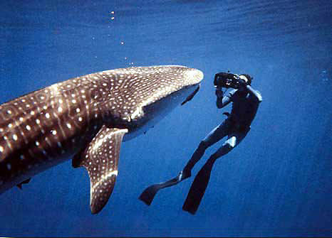 Diving with Whale Sharks in private tours with previous arrange